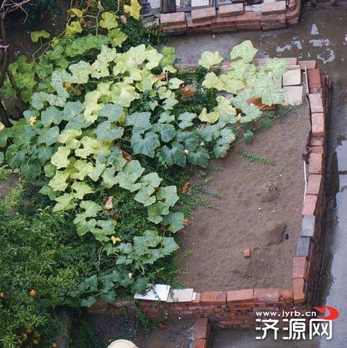 济源一小区空中花园变菜园 堆满了玉米秸秆图片