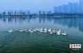 """安阳CBD蝶映湖迎来首批""""客人"""" 25只小天鹅迁徙过境在此""""歇脚"""""""