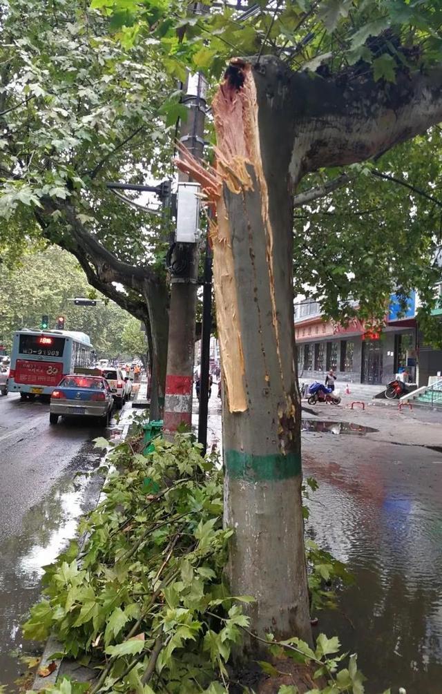厢式货车夜半撞树逃逸  光明路一棵行道法桐遭殃