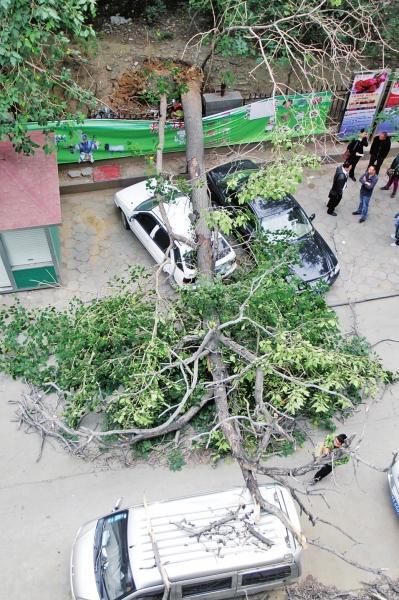 郑州商城遗址古城墙年夜树被刮倒 砸坏三辆车(图)