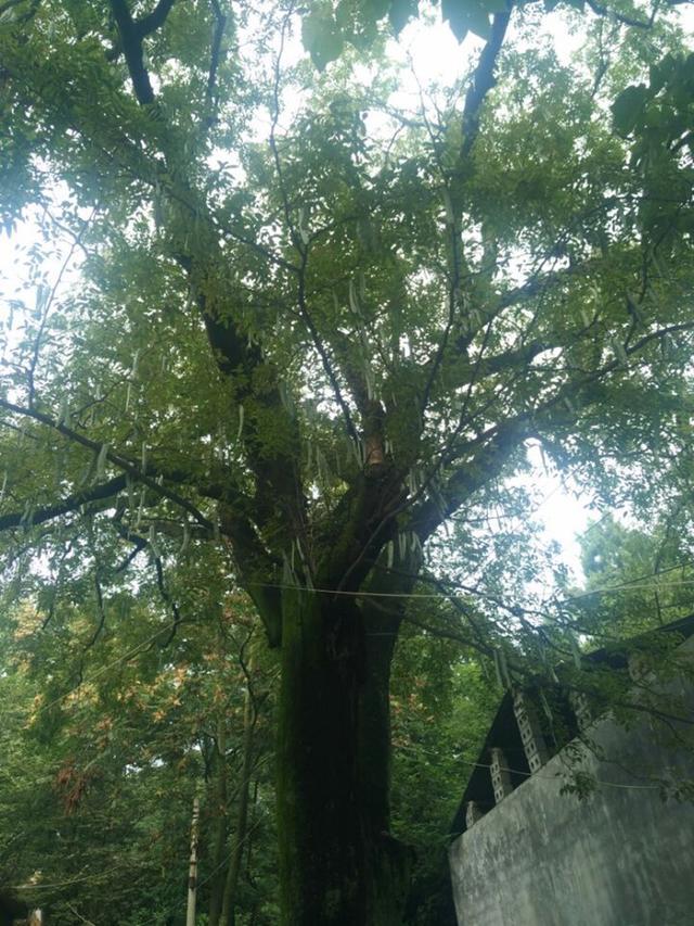 """平顶山一古树年龄超200 满树结满""""大豆角"""""""