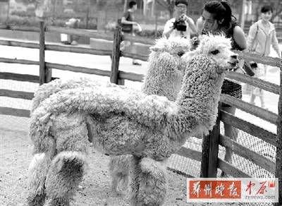 """郑州动物园羊驼剃毛降温 """"时尚""""造型引围观"""