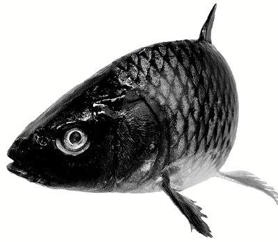 """所以也称""""红尾鲤鱼"""""""