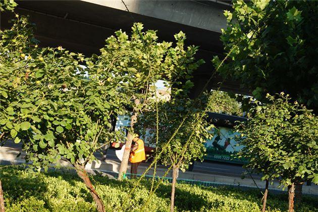 月季花上长出5米高的触角 个头想与行道法桐比肩
