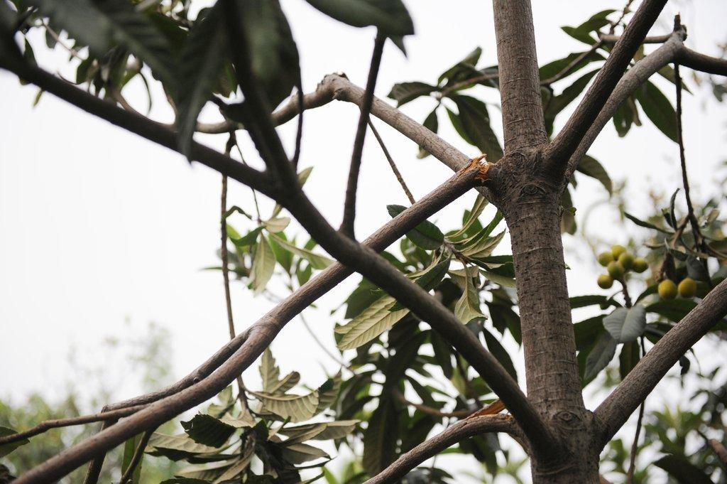 组图 郑州路边观赏枇杷树结果 路人疯狂采摘