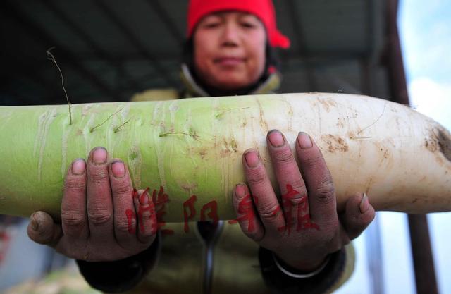 乞助:濮阳农人60万斤萝卜卖不失落 将烂地里