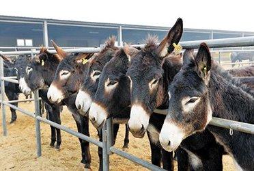 中国驴皮市场激增 每年需求400万头开始闹驴荒