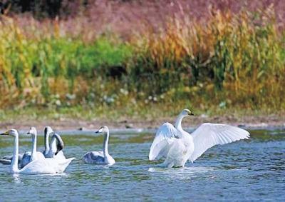 河南多地引来天鹅栖息 这张观赏天鹅地图送给追逐美的你