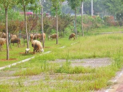 郑州西流湖公园附近现羊群 走上马路啃绿化带