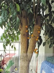 幸福树开花什么预兆图片