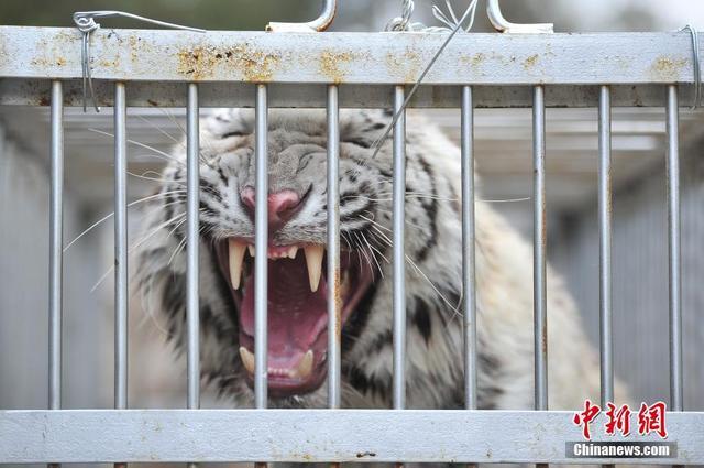 云南野生动物园老虎搬新家