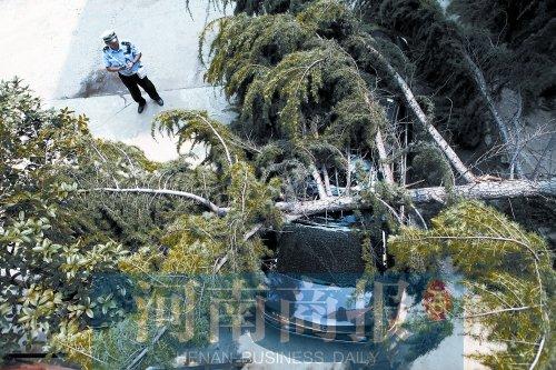 郑州一10多米松树被大风吹到 砸中60万奔驰车高清图片