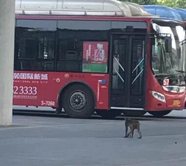 """猕猴郑州街头""""遛弯"""" 专家提醒市民不要贸然捕捉"""