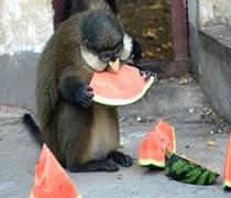 """许昌一动物园开""""凉方"""" 可爱动物安然吃西瓜"""