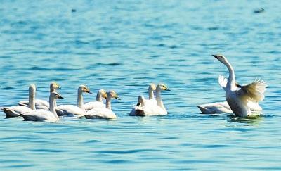 水质大幅提升众多候鸟来栖 鹤鸣湖来了群白天鹅