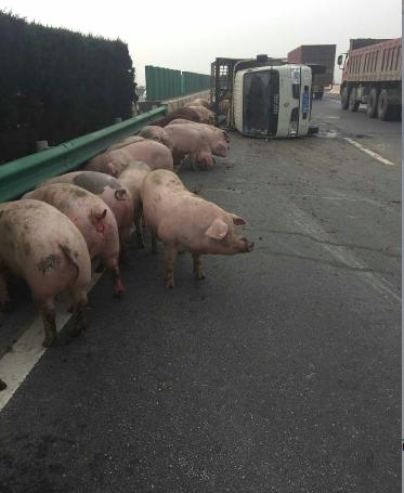 """""""二师兄""""高速上撒欢 周口交警当起""""赶猪倌"""""""