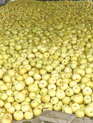 兰考500多万斤酥梨挂在枝头 梨农盼市民伸援手