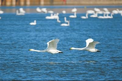 """三门峡迎来""""白衣精灵"""" 四千多只白天鹅已飞临"""