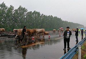 20多头黄牛在高速上闲逛 交警变牛倌