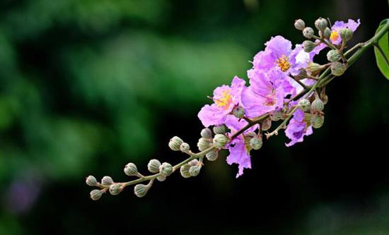 发现雁湖之美:陌上紫薇诗百亩
