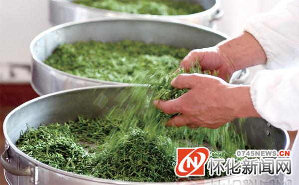 碣滩茶制茶工序:搓团显毫.