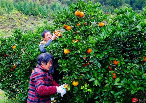 """用""""旅游+脐橙""""实现12万贫困人口的脱贫梦想"""