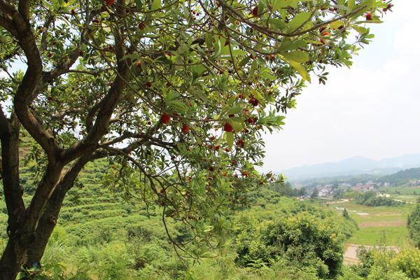 浏阳伢子返乡创业 八年耕耘千亩荒山变美丽果园