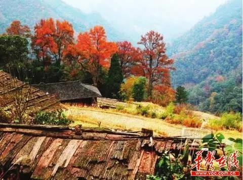 红枫芦苇梧桐 大长沙最美的秋色已上线