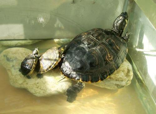 养乌龟风水注意事项
