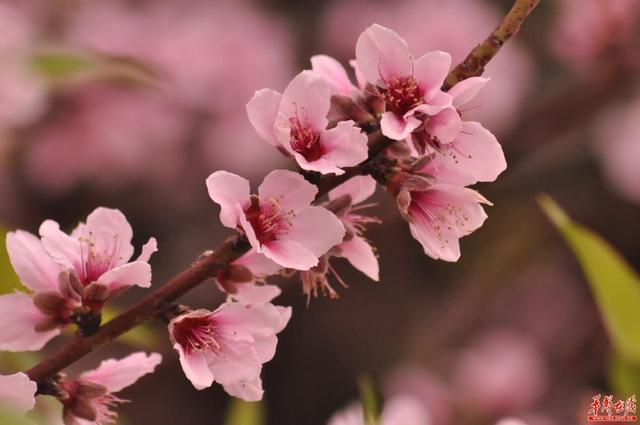 湖南的十里桃花就能让你春醉世外桃源