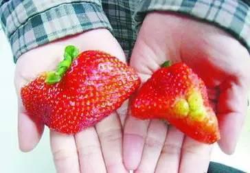 记者暗访草莓园触目惊心 教你如何选健康的草莓