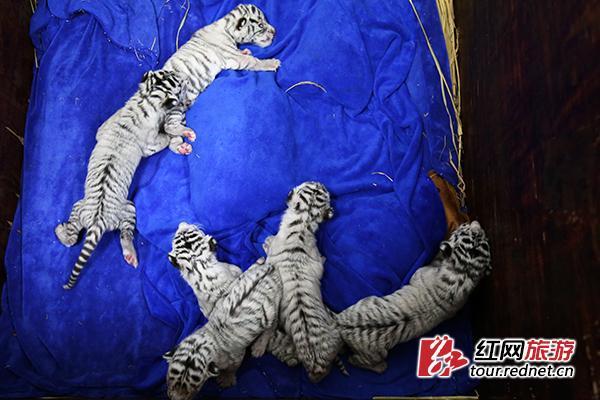 插入极品粉红白虎_元旦长沙生态动物园母白虎顺产6胞胎 为三公三母
