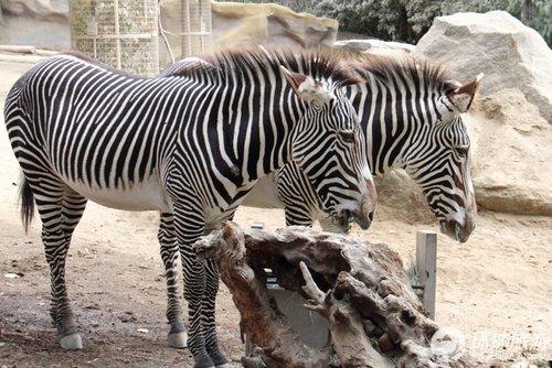 旅游 看世界 正文  来到圣地亚哥动物园的游客们通常会惊讶并深深感动