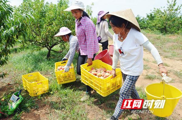 永州江华:1700亩水蜜桃熟了