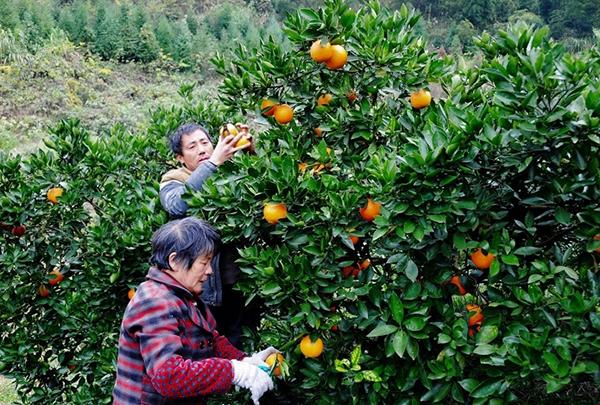 邵阳新宁脐橙成农民致富摇钱树 年产值达10亿