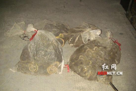 湖南一客车货物箱藏300条野生蛇 含银环蛇等毒蛇高清图片