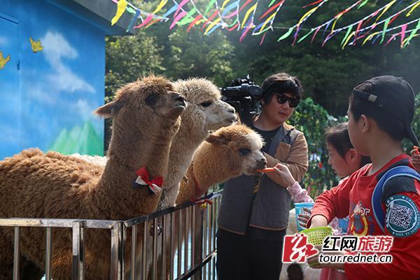 """长沙市生态动物园内小朋友与小""""草泥马""""互动"""
