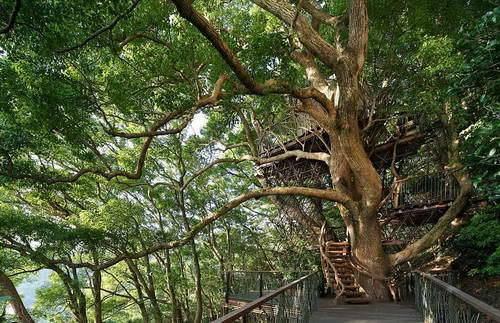 300年古树内建造豪华树屋