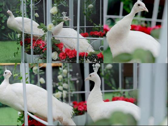 罕见白孔雀亮相成都 4月焦点尽在城北恒大御府
