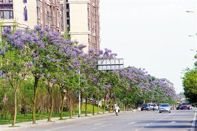 一路花香一路景 成都武侯区20余条街道皆可赏花