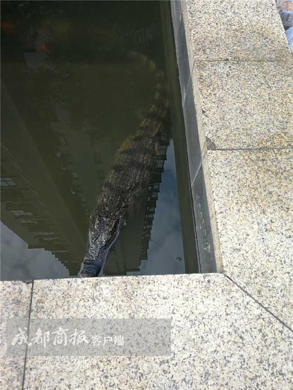 成都一小区鱼池惊现鳄鱼 竟是业主养起准备吃的