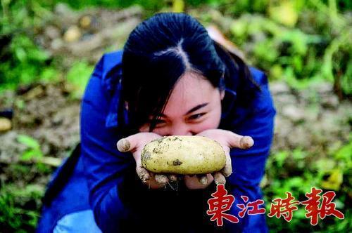 醉了游客 一个马铃薯3斤重