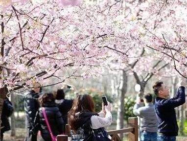 赏花不止在顾村 这些公园楼盘在家就能看樱花