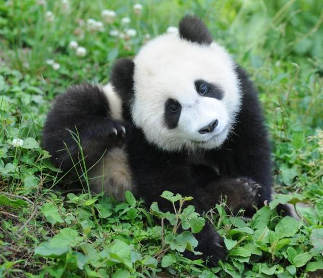 呆萌熊猫展 最萌熊猫阵