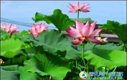 蛤岭村2017首届荷花文化旅游节,7.16盛大启幕