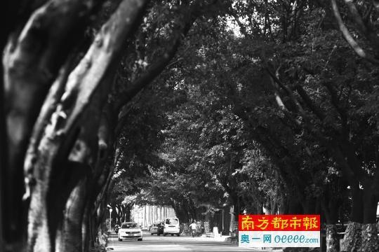 """中山""""最美林荫道""""青溪路已基本完成施工图设计"""