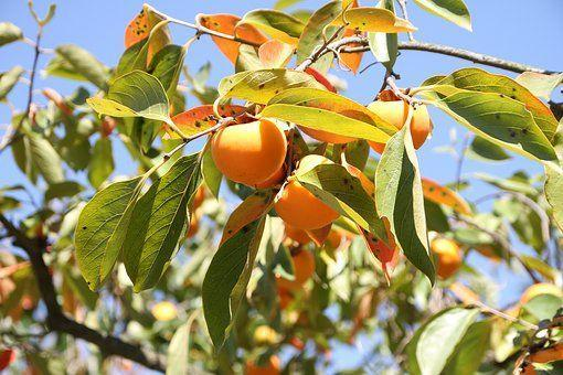 柿子一身都是宝 秋吃最相宜