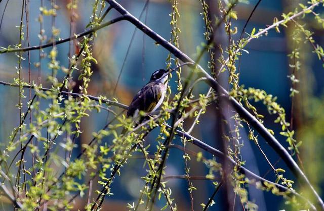 南京春光明媚 柳绿鸟鸣一派盎然春意