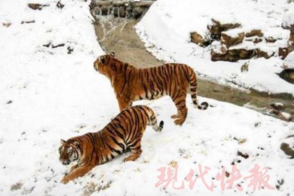 无锡动物园内小动物雪地玩耍 羊驼卖萌