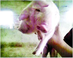 淮安一养猪场诞生双头猪:重2斤 出生3天后夭折